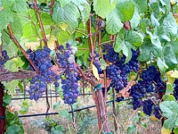 Old Mill Farm: Pinot Noir Vineyard Slide Show -- click for more photos